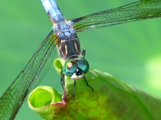 Dragongly Blue Dasher